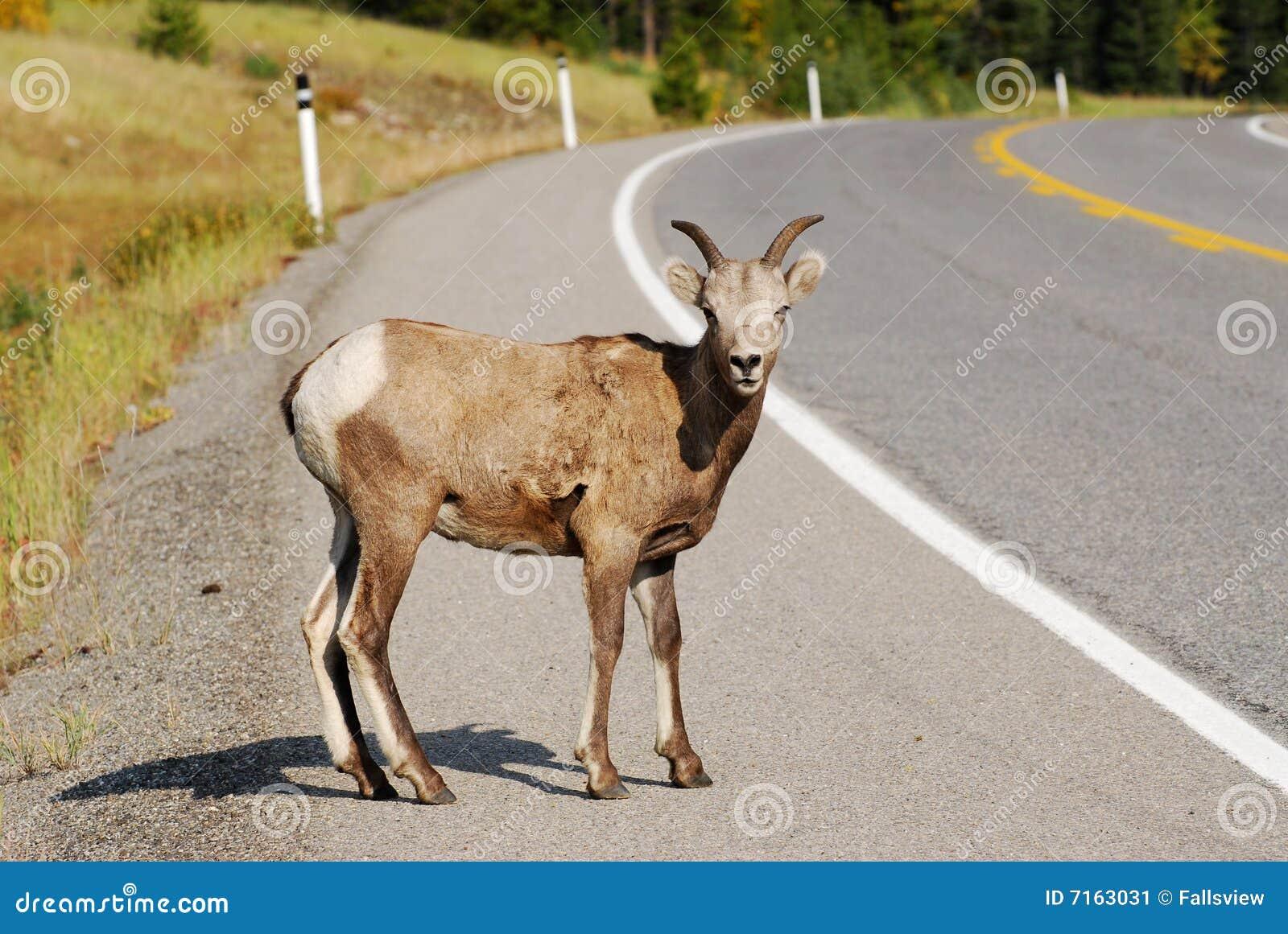 Big horn sheep crossing the highway, kananaskis country, alberta ...
