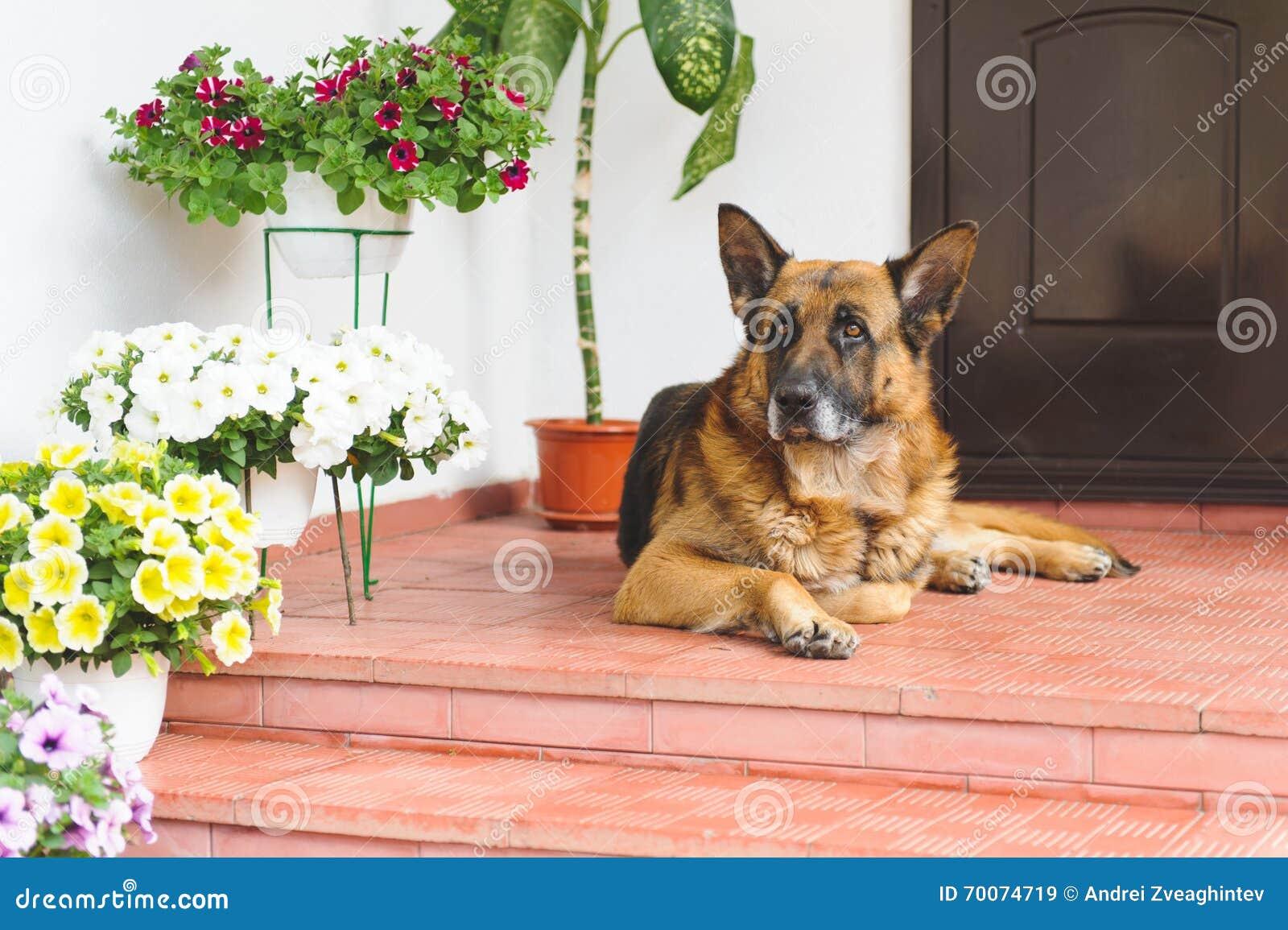 Sheep Dog on Porch