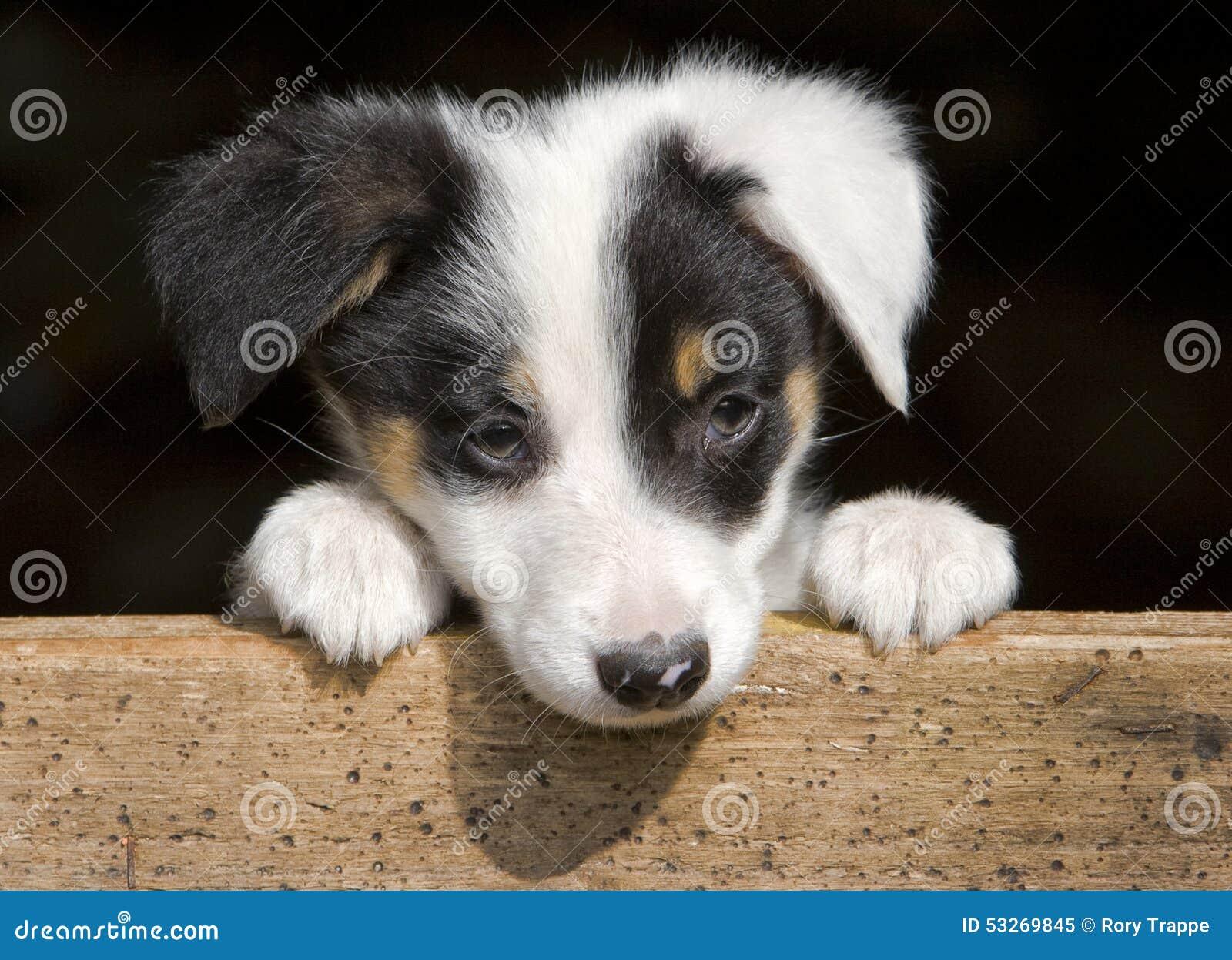 Sheep dog puppy
