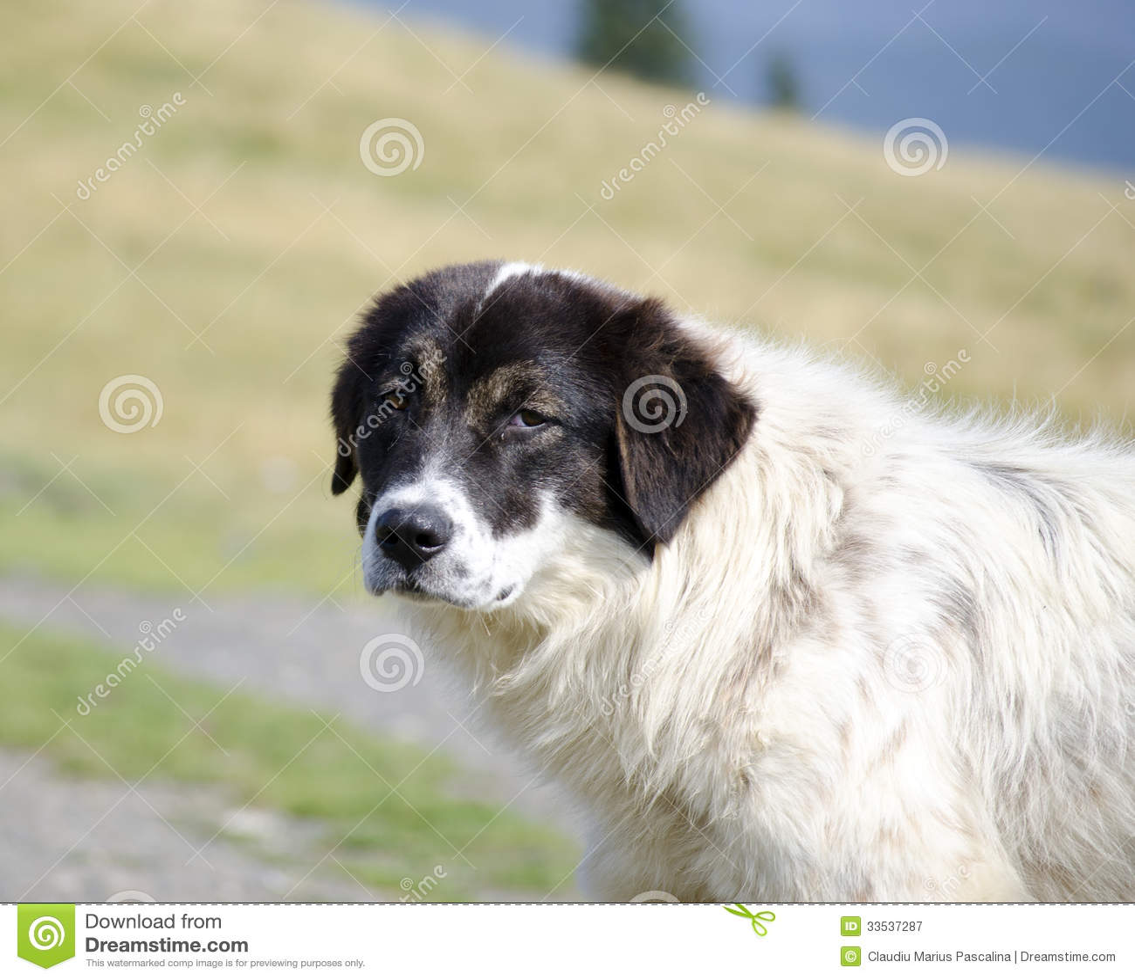 Romanian Sheep Dog Royalty Free Stock Photography - Image: 33537287