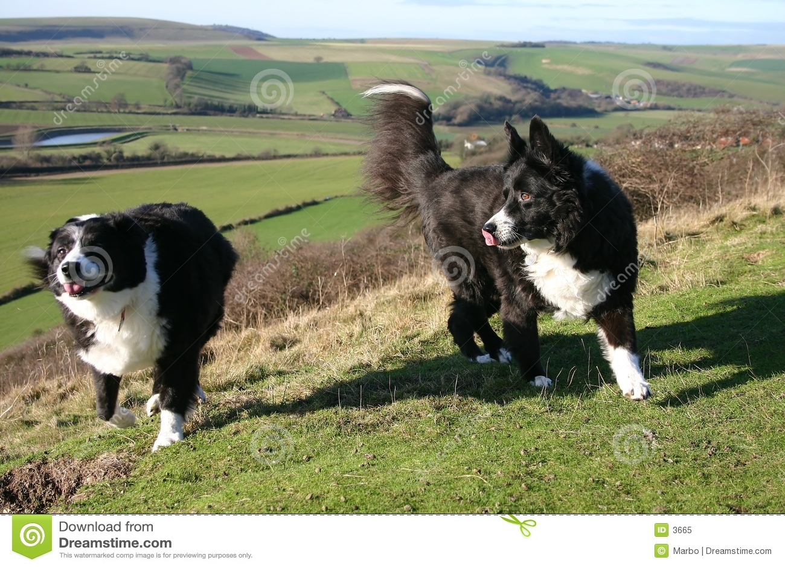 Sheep dogs
