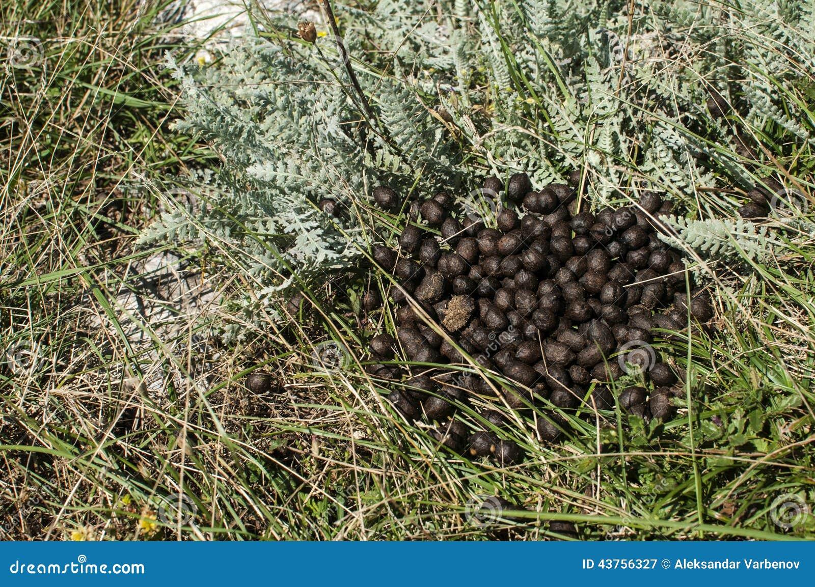 sheep droppings stock image. image of droppings, manure - 43756327