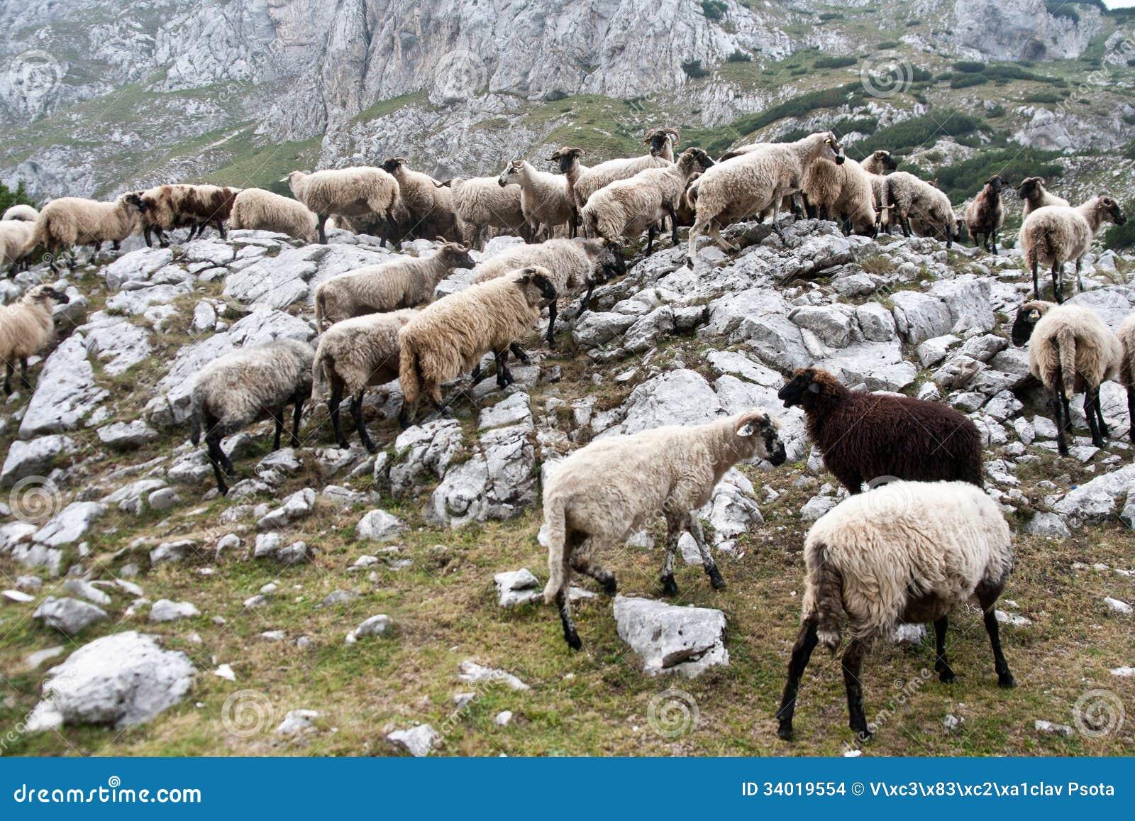 Sheep drove