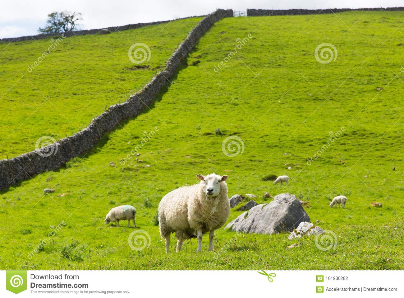 Sheep and dry stone wall in Yorkshire Dales England UK