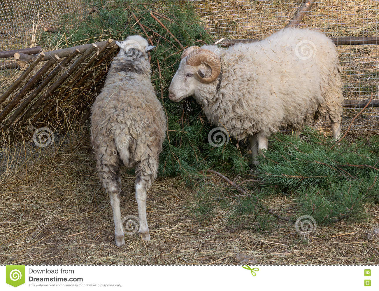 Sheep Eat A Pine Tree In The Paddock Stock Image Image