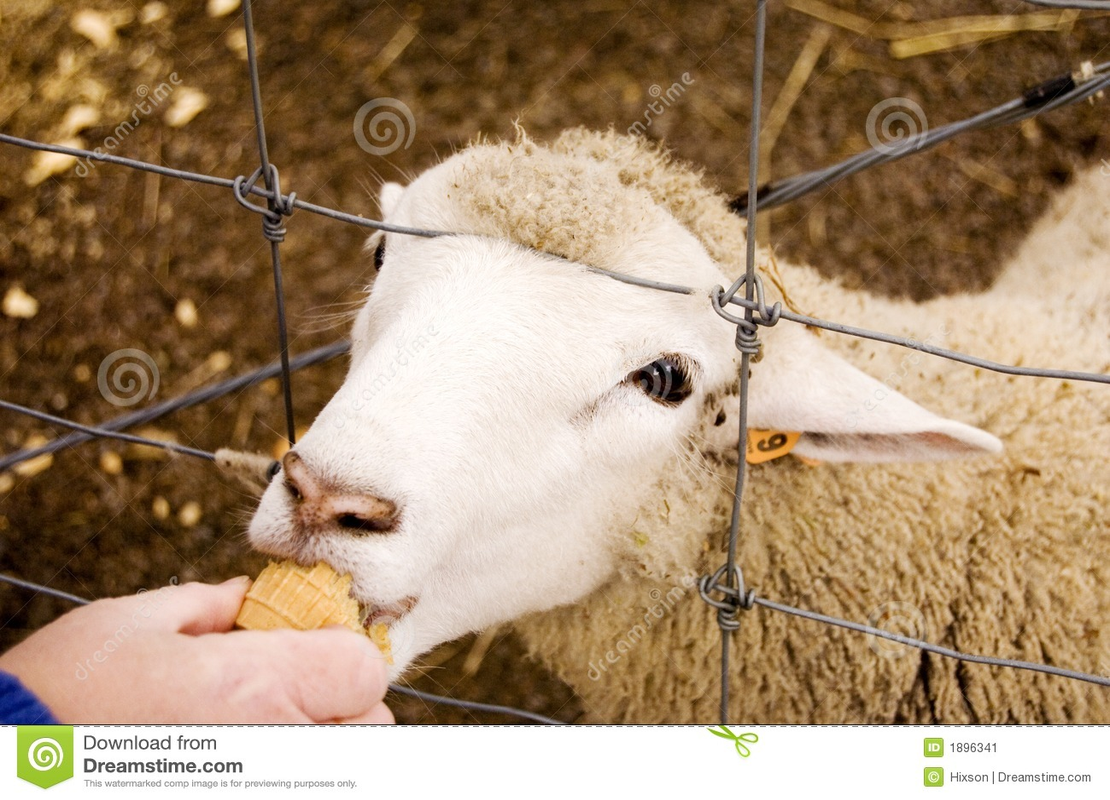 Sheep Eating Stock Image Image 1896341
