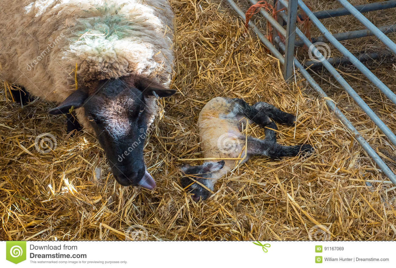 Sheep ewe licks her lamb after giving birth