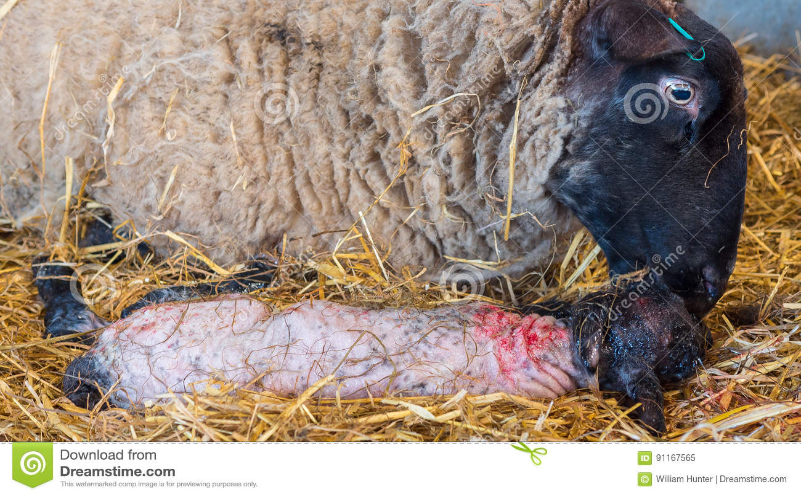 Sheep ewe licks her lamb after giving birth
