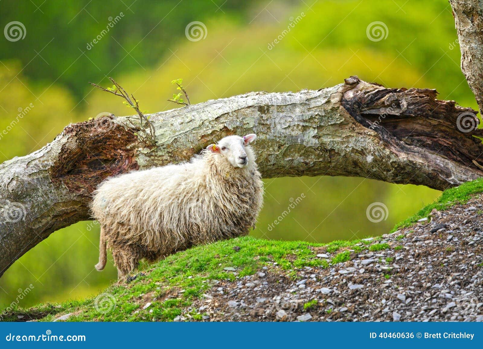 Sheep ewe