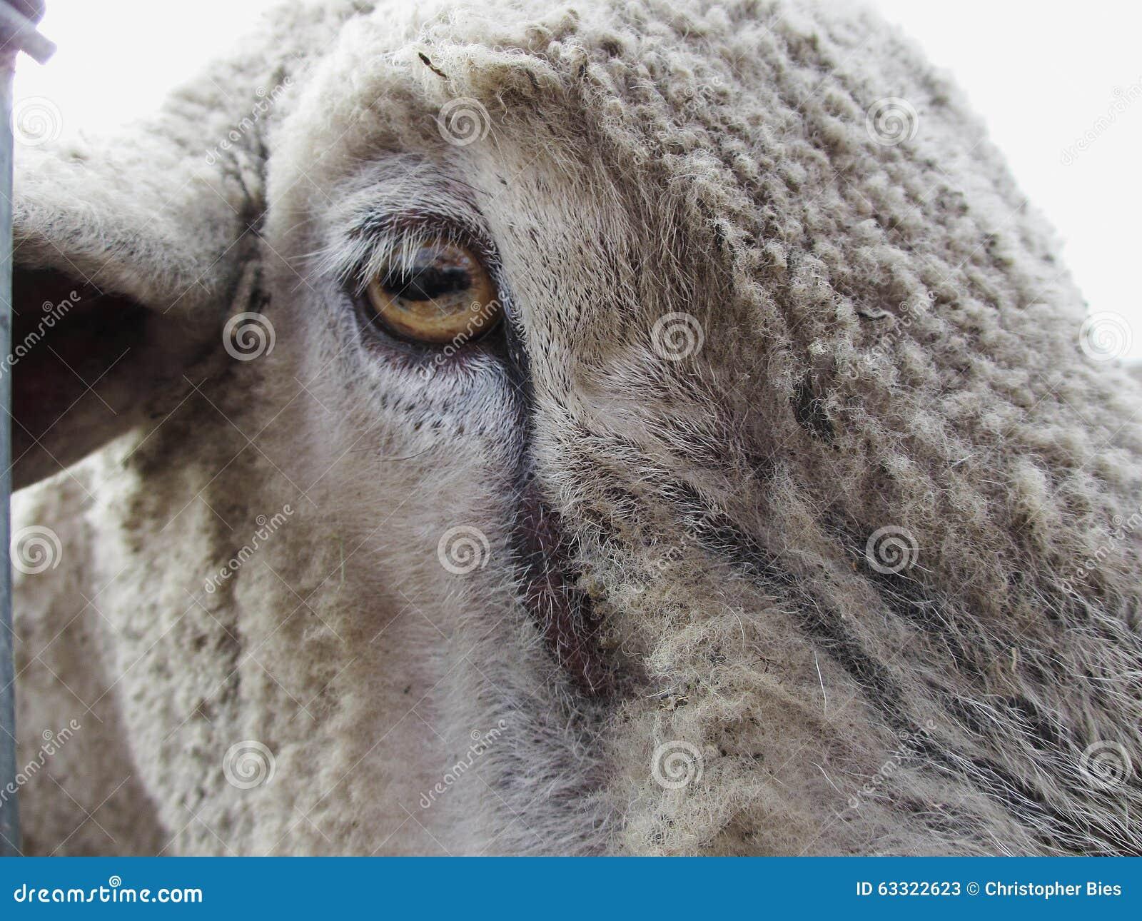 Sheep Eye stock image. Image of dirty, close, hairy, photo - 63322623