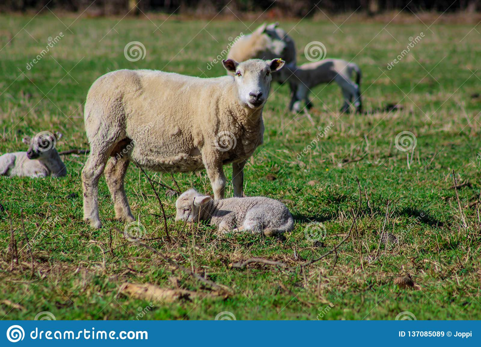 Sheep family in New Zealand, ewe and lamb on green field