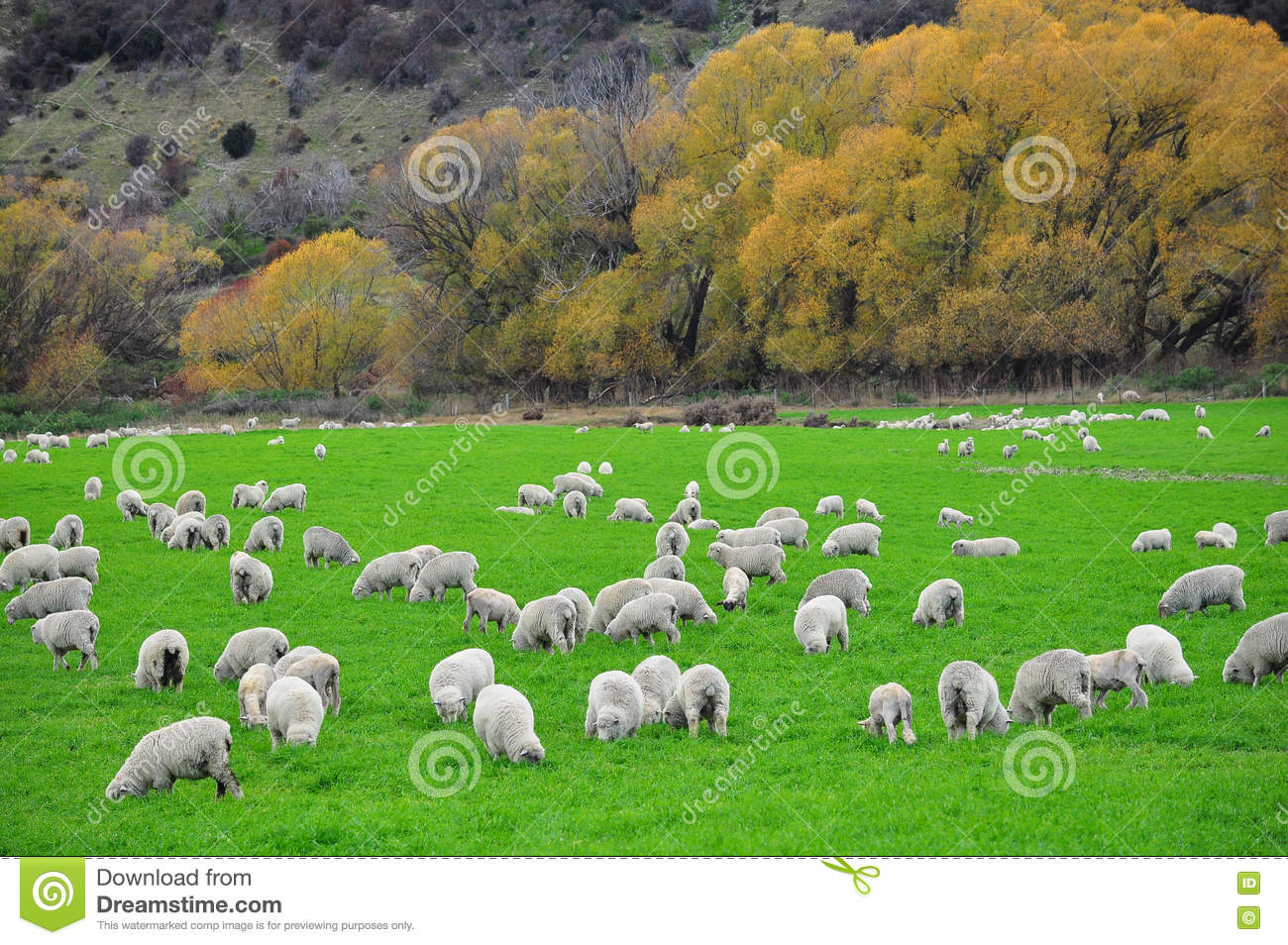 Sheep farm in New Zealand stock photo. Image of meadow - 79253380