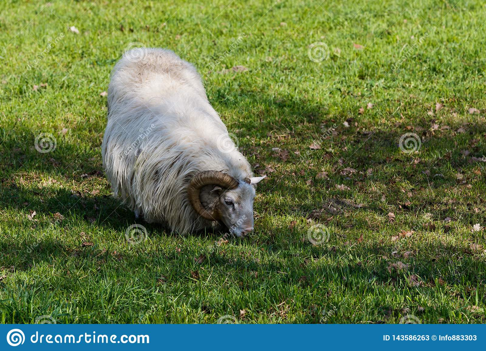 Sheep feeding on a green pasture
