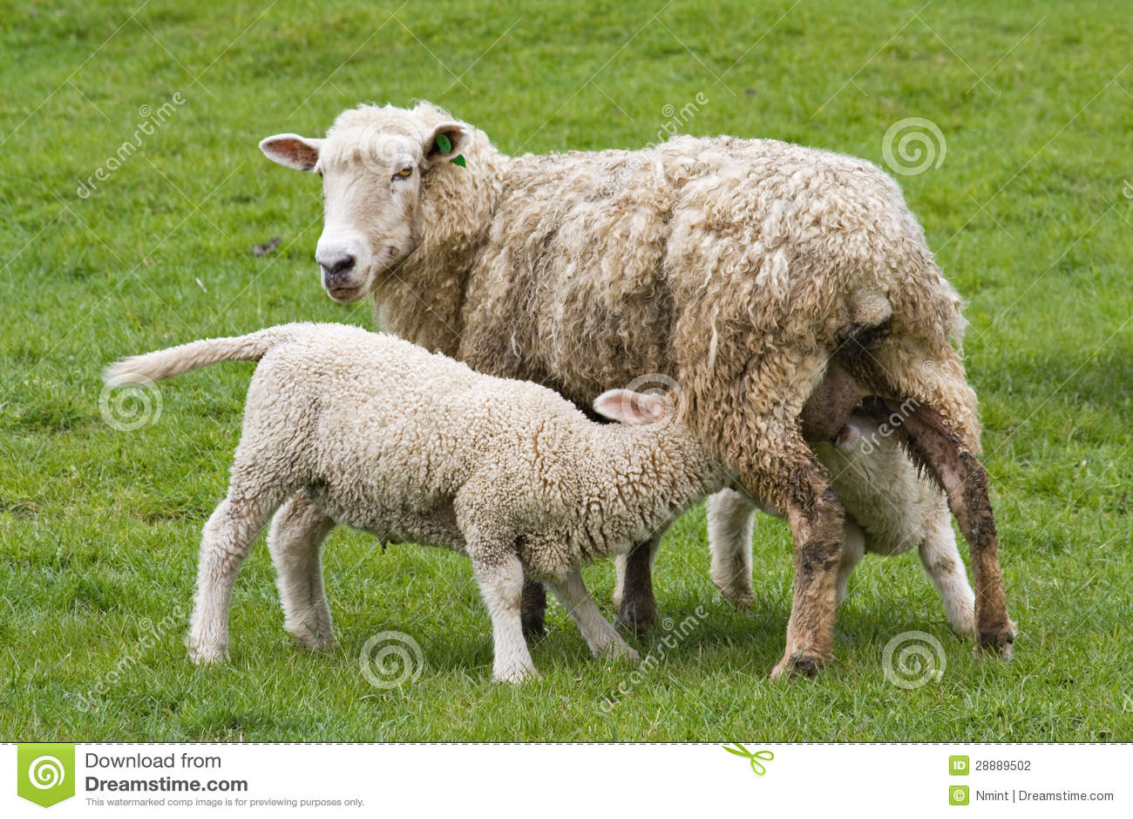 Goat Farming Business Plan For Beginners