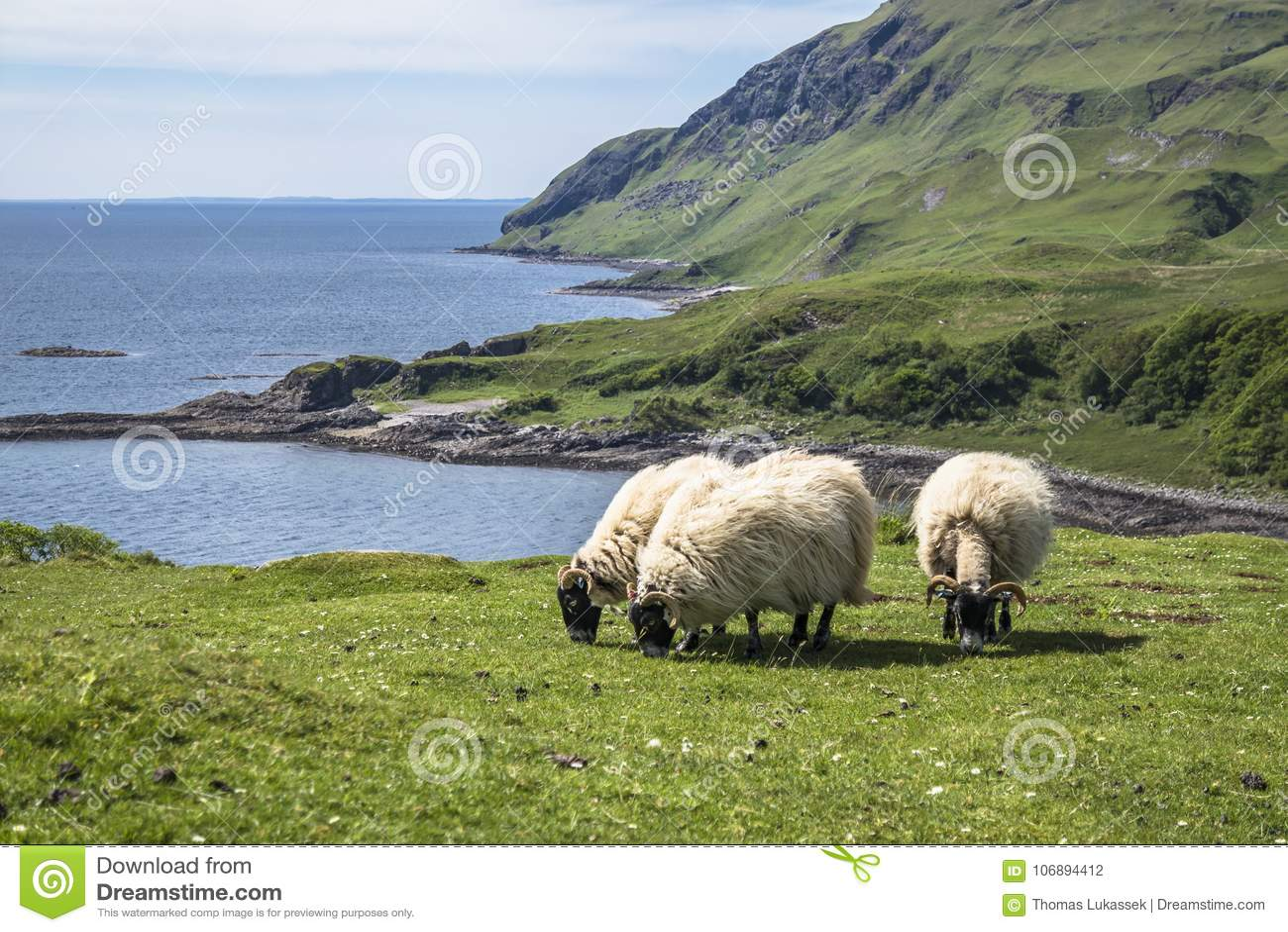 Sheep and goat at the bay called Camas nan Geall, Ardnamurchan