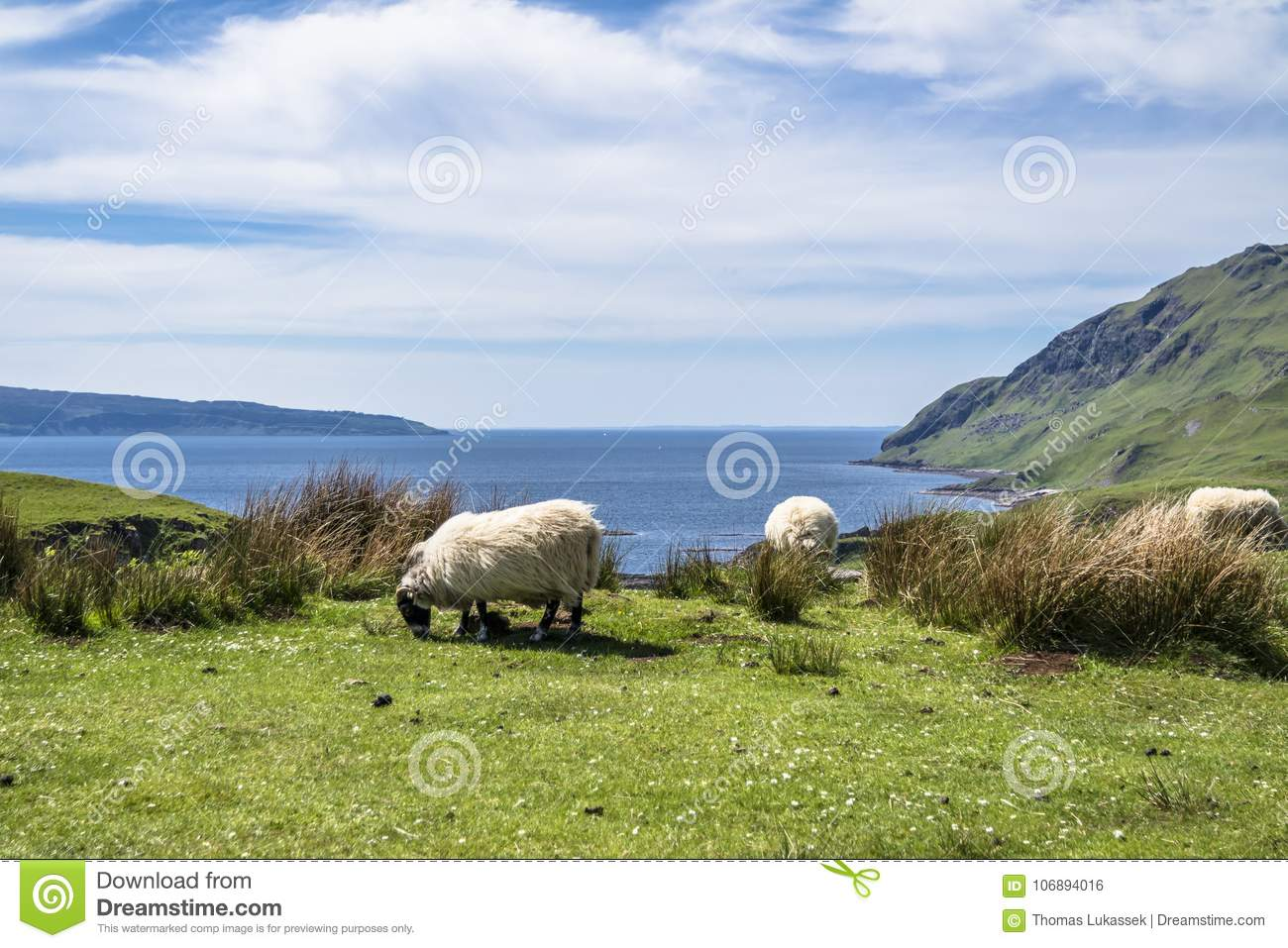 Sheep and goat at the bay called Camas nan Geall, Ardnamurchan