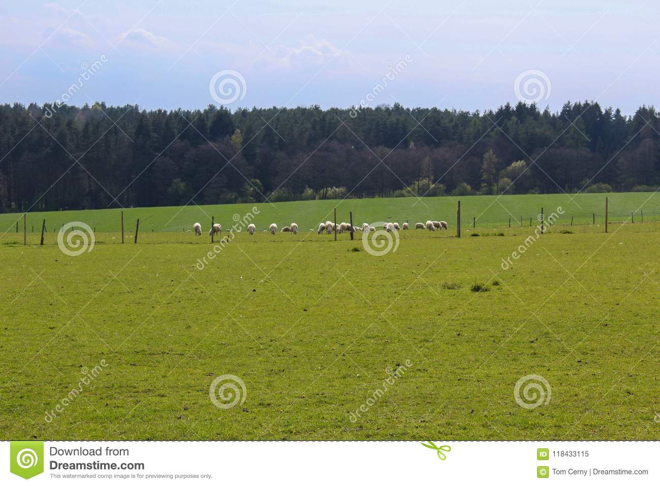 Sheep on grass with forest and blue sky. Czech landscape