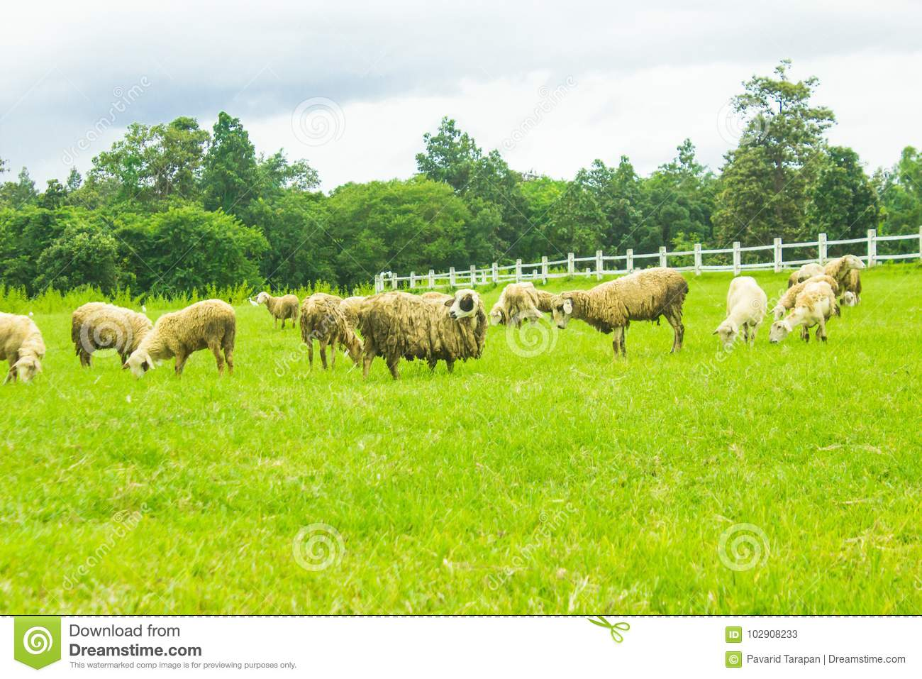 Sheep on grasslands  stock image  Image of agriculture