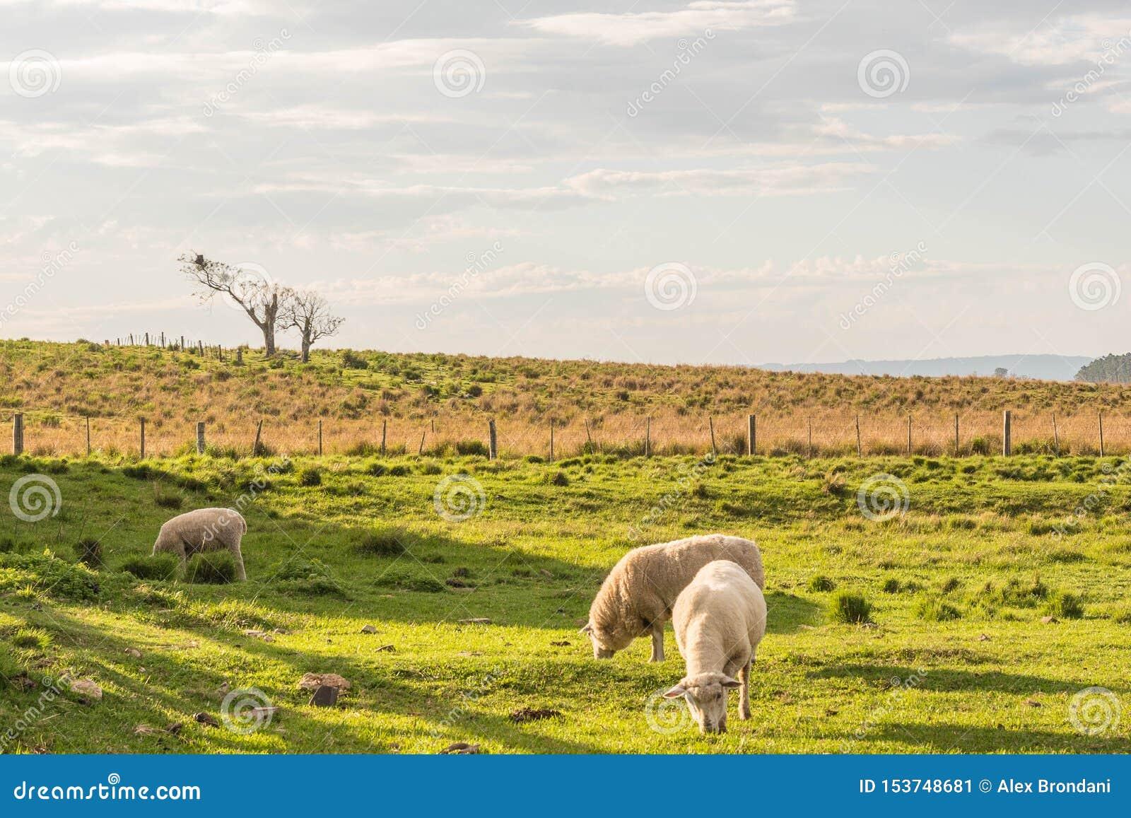 Sheep Grazin in the southern Brazil 03