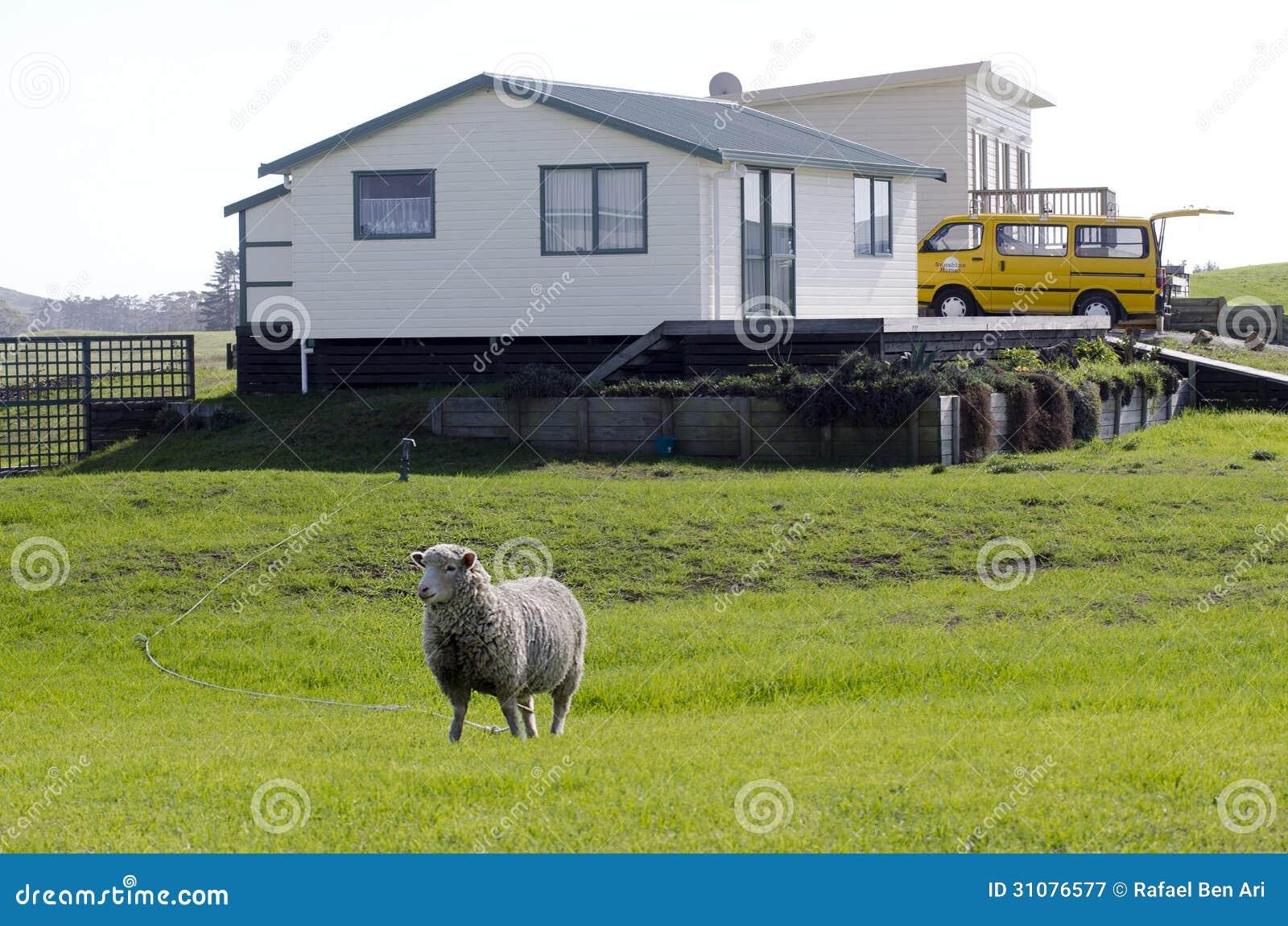 Sheep Grazing In A Backyard Editorial Photography