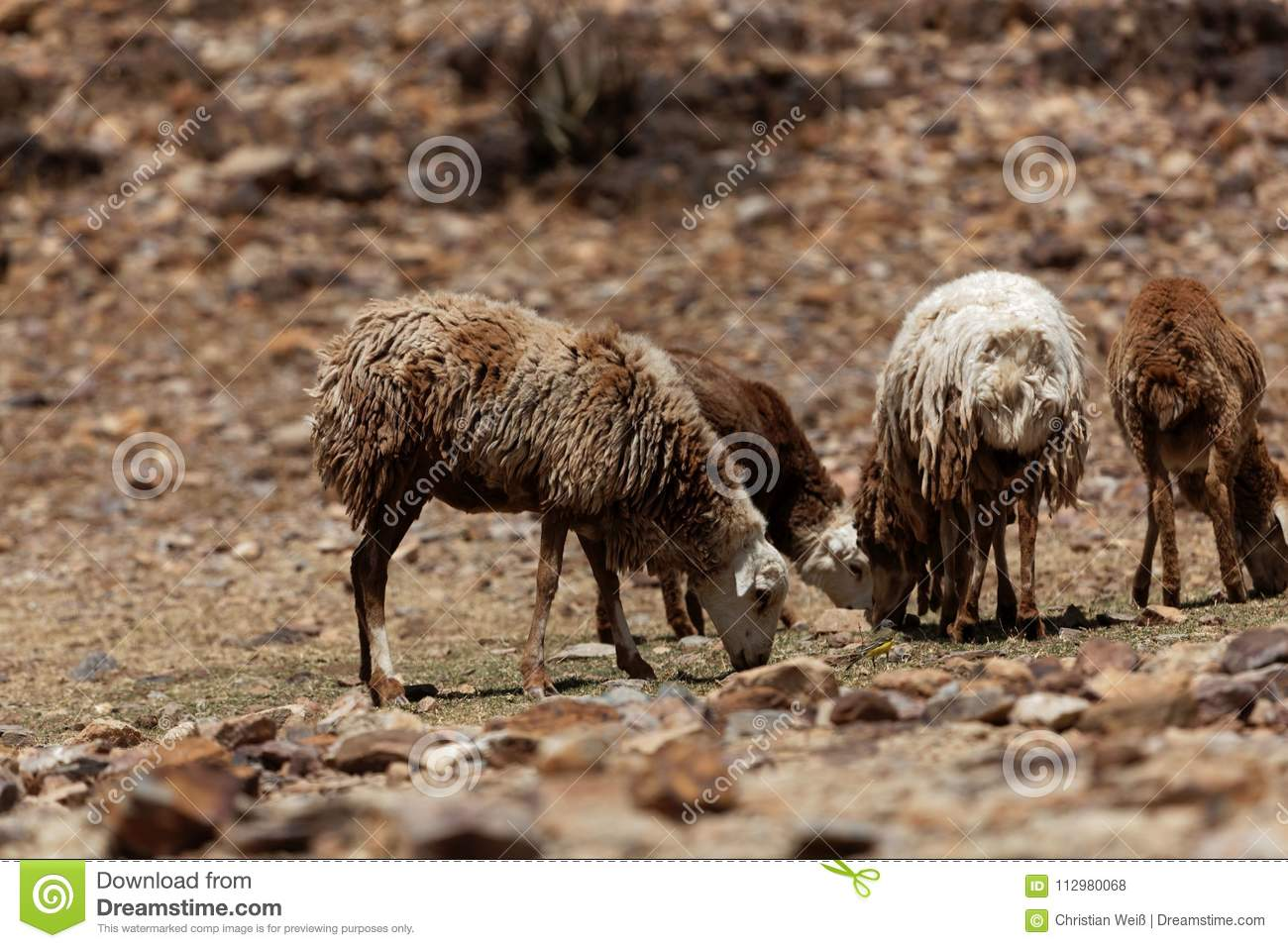 Sheep grazing on a dry field