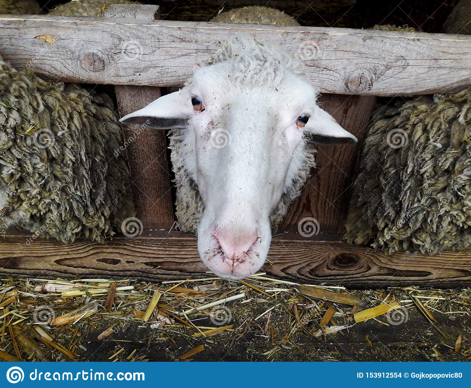 The Head of the Sheep