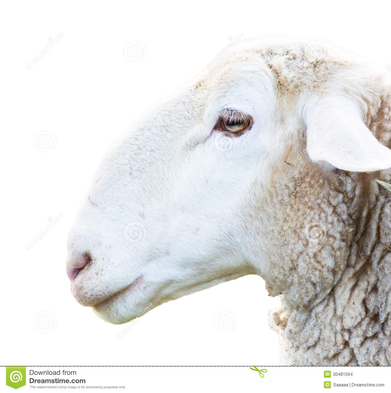 Sheep Head Stock Images - Image: 30481564