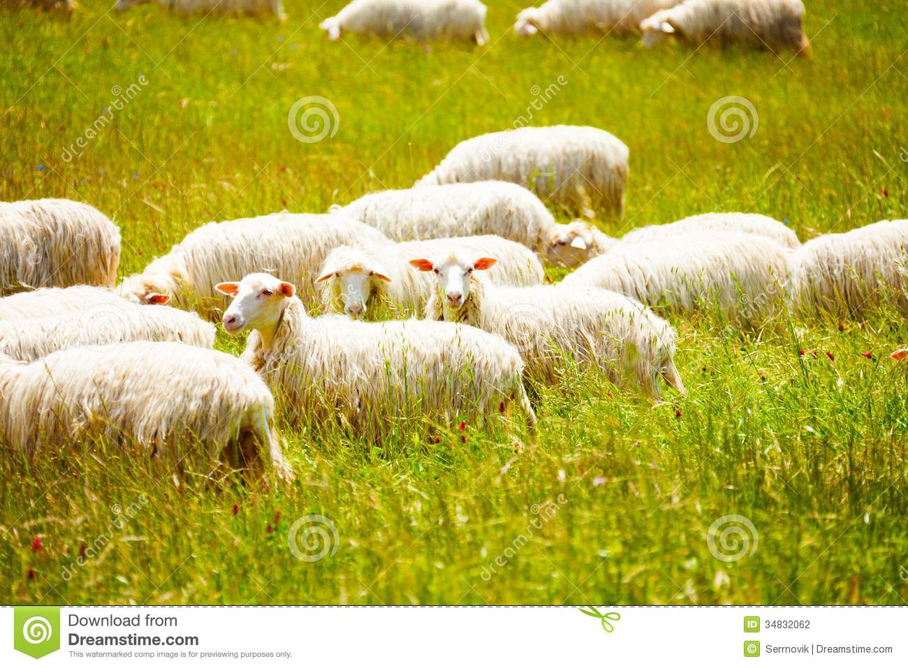 Sheep Herd Farm On Green Gras In Scotland 2 Stock Photo - Image ...