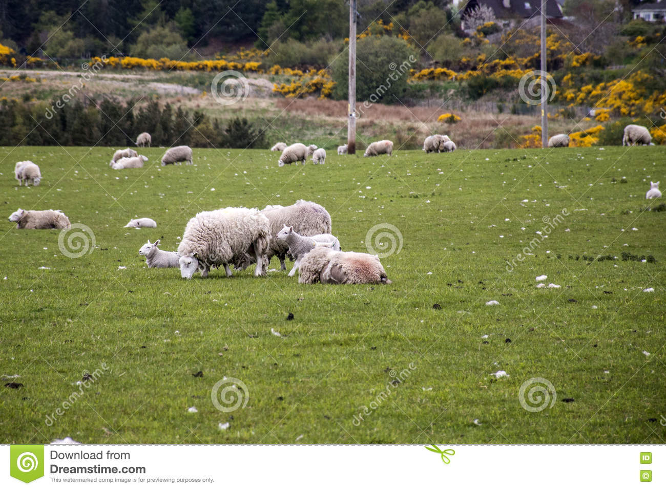 Sheep Farm. Flock Of Sheep Grazing In The Field. Herd Of Sheep Eat ...
