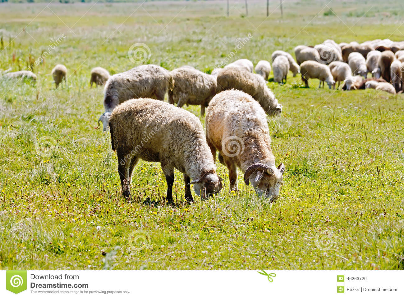 Sheep herd on a meadow