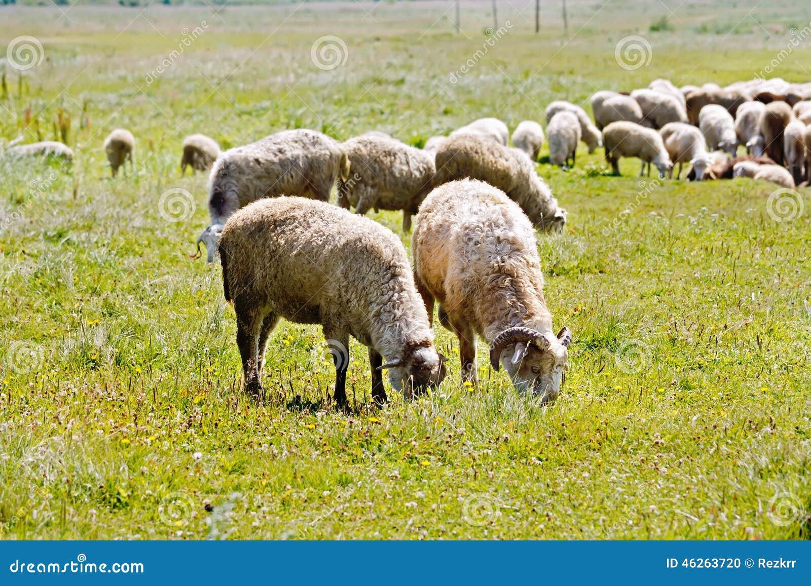 White sheep herd - photo#12
