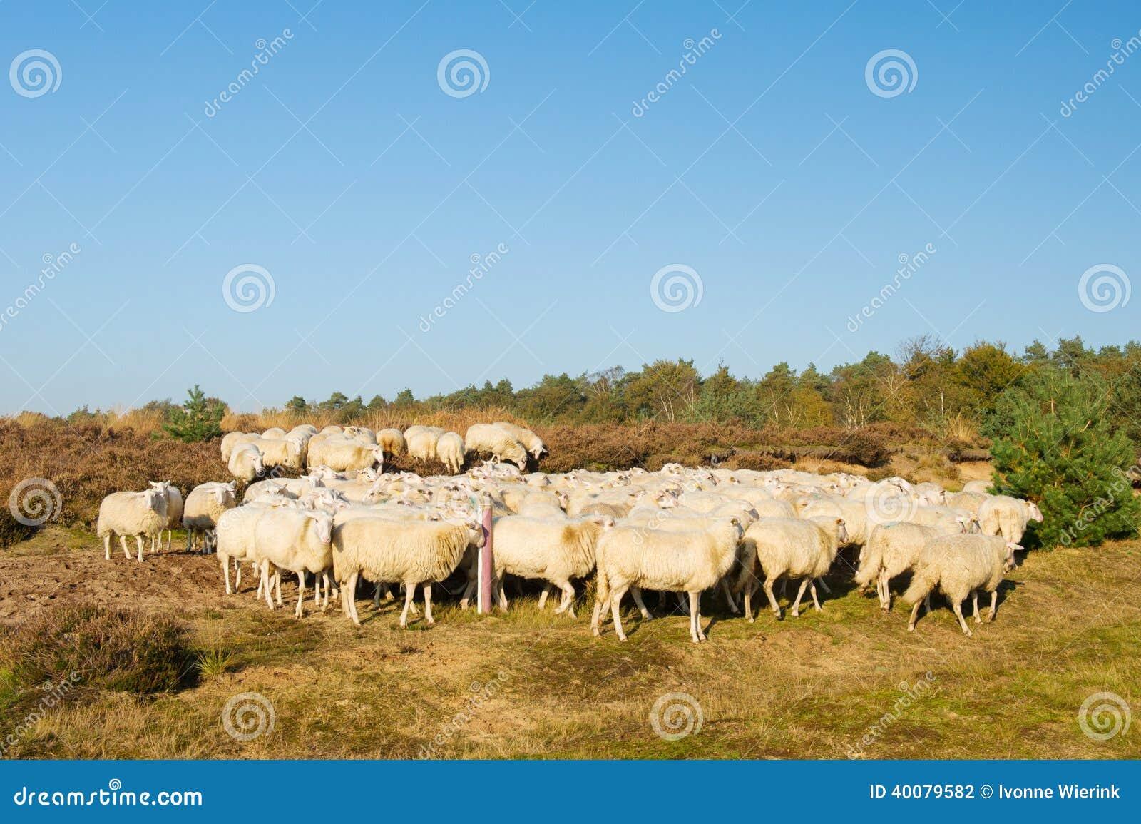 Sheep Herd Stock Photo - Image: 40079582