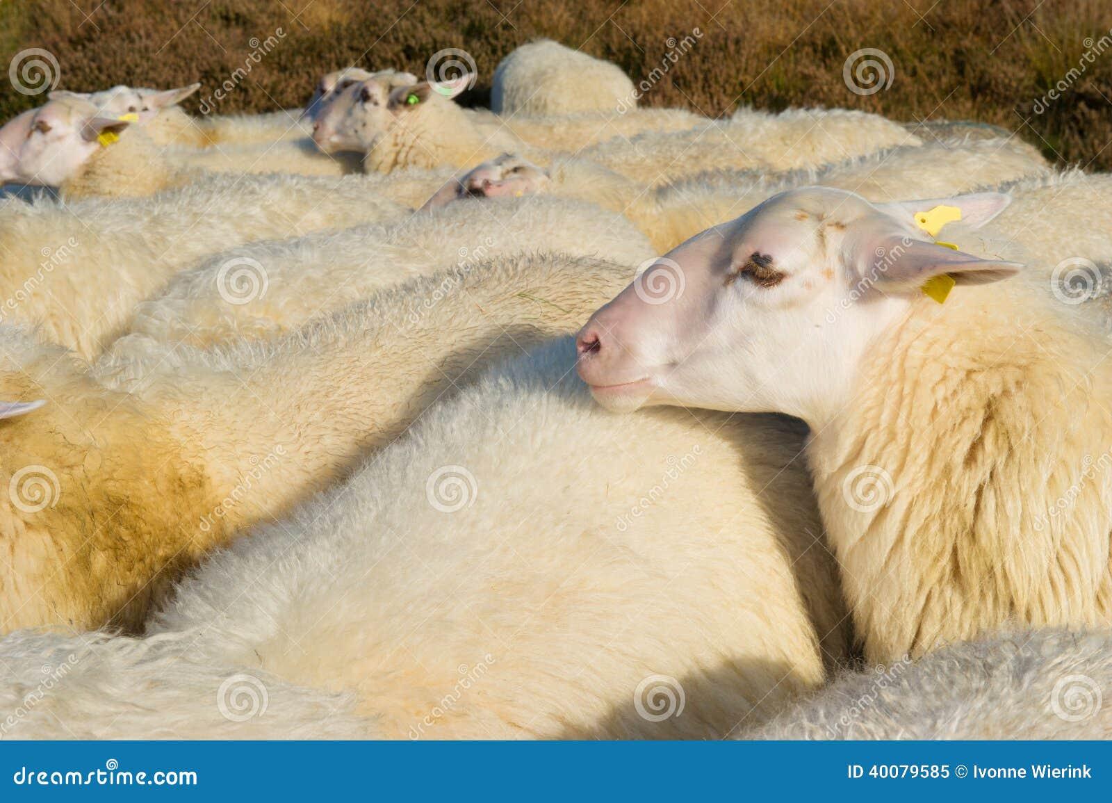 White sheep herd - photo#21
