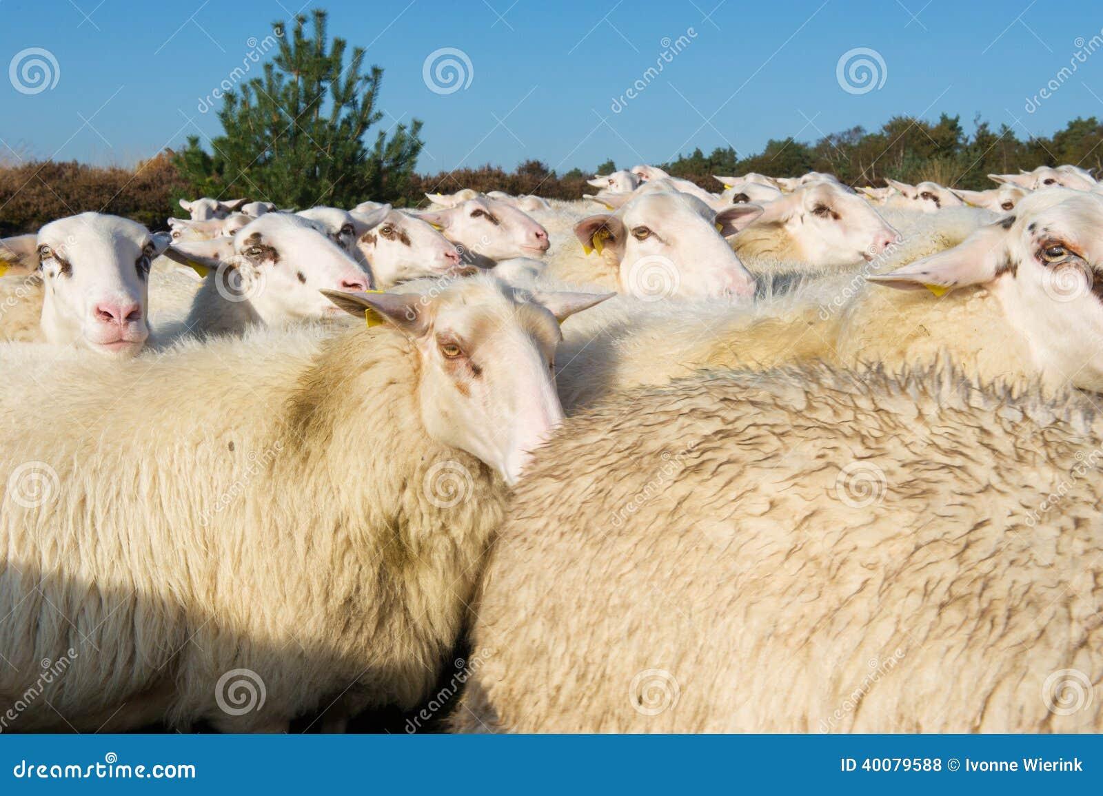White sheep herd - photo#23