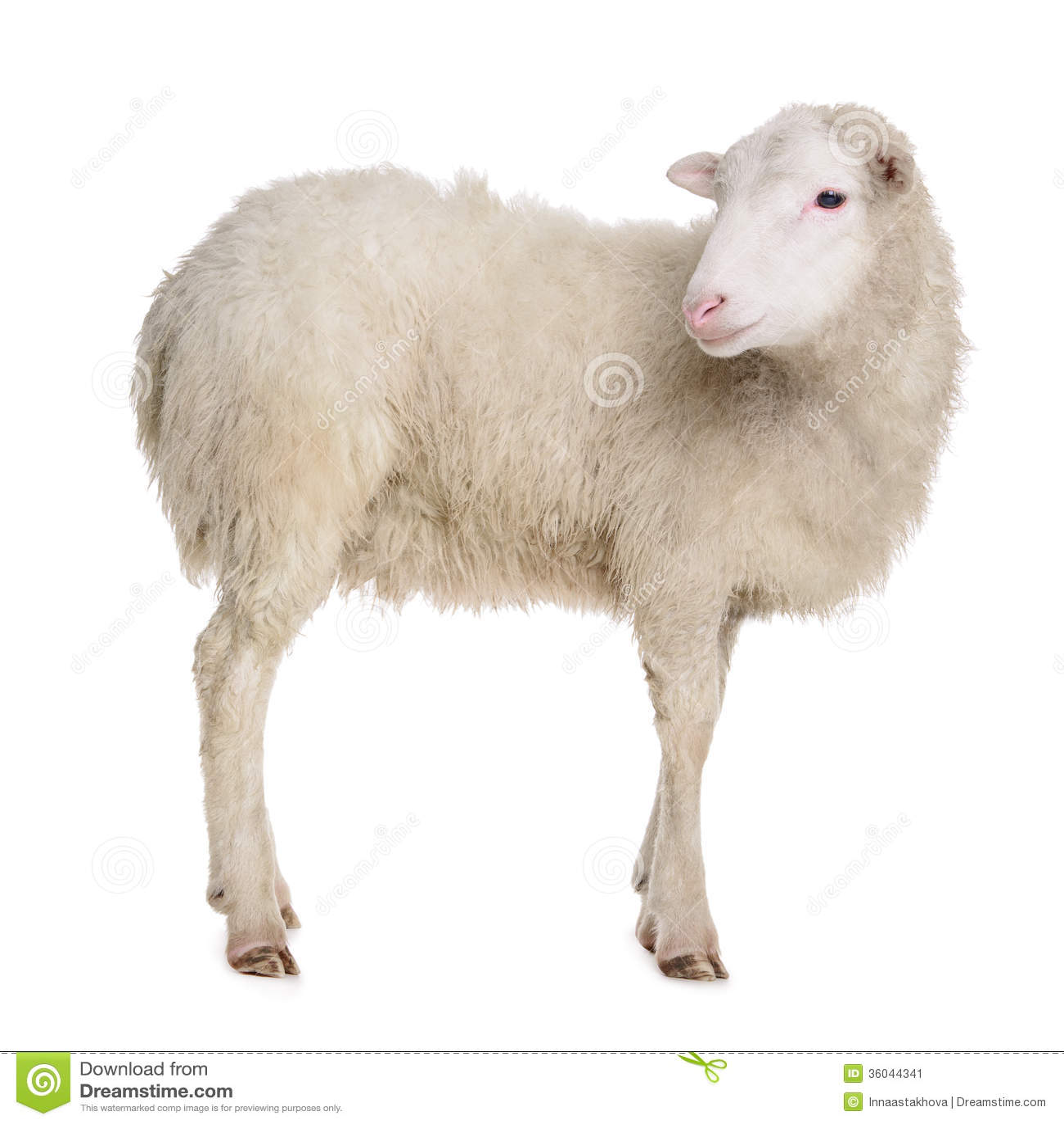 White sheep - photo#16