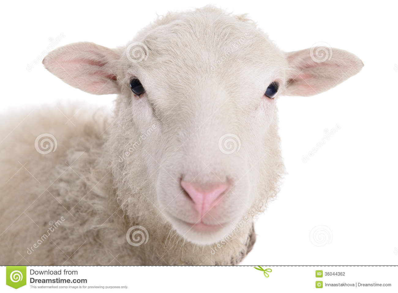 Sheep Isolated On White Stock Photography - Image: 36044362