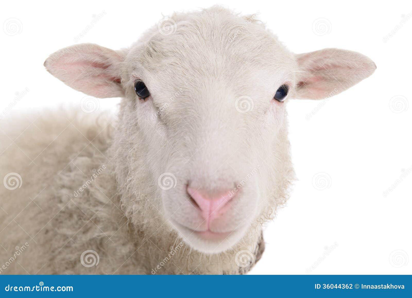 White sheep - photo#21