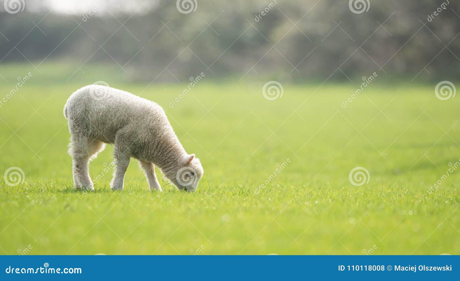 Sheep, Lamb, Ram, Ovis aries