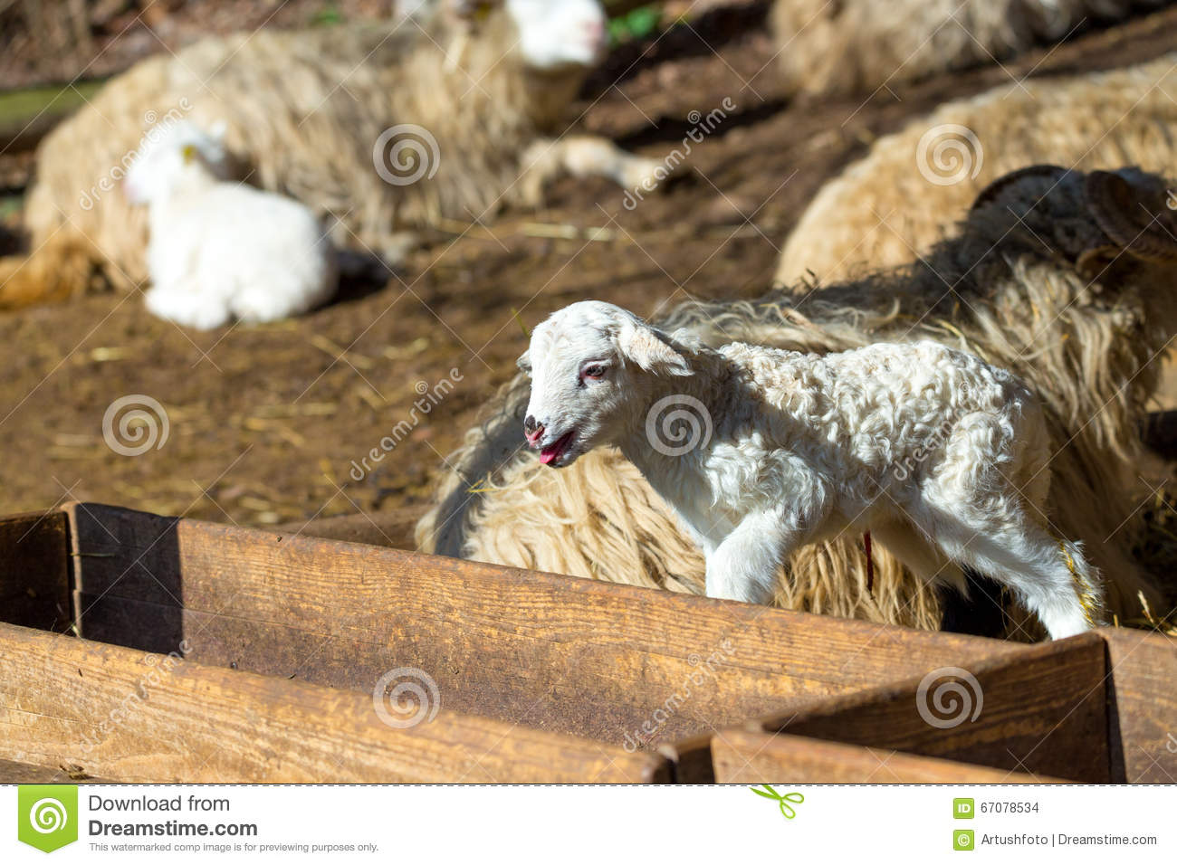 Sheep with lamb on rural farm