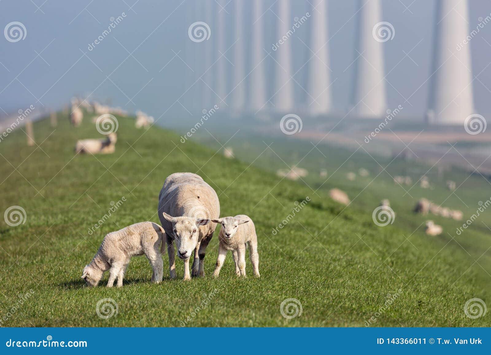 Sheep with lambs at dike near Dutch wind turbine farm
