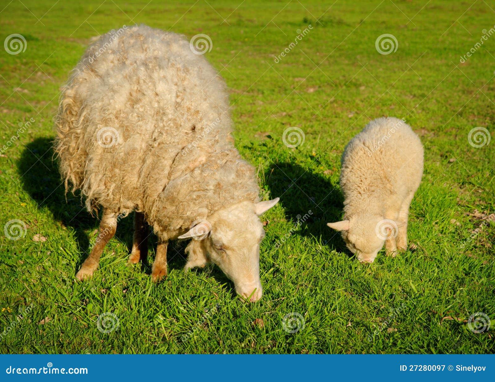 Sheep and lamp stock image. Image of grass, fleece, grassland ...
