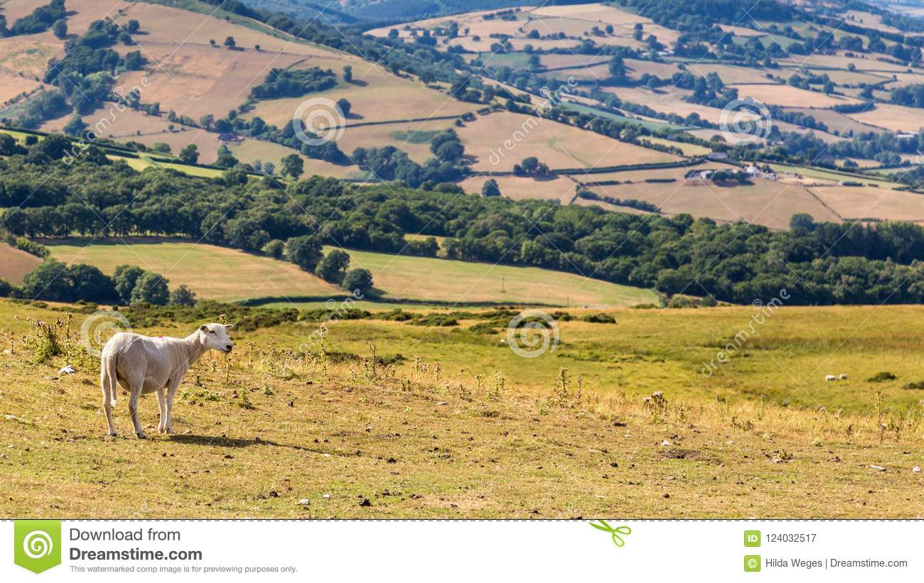 Sheep In Brecon Beacons National Park In Wales, UK Stock