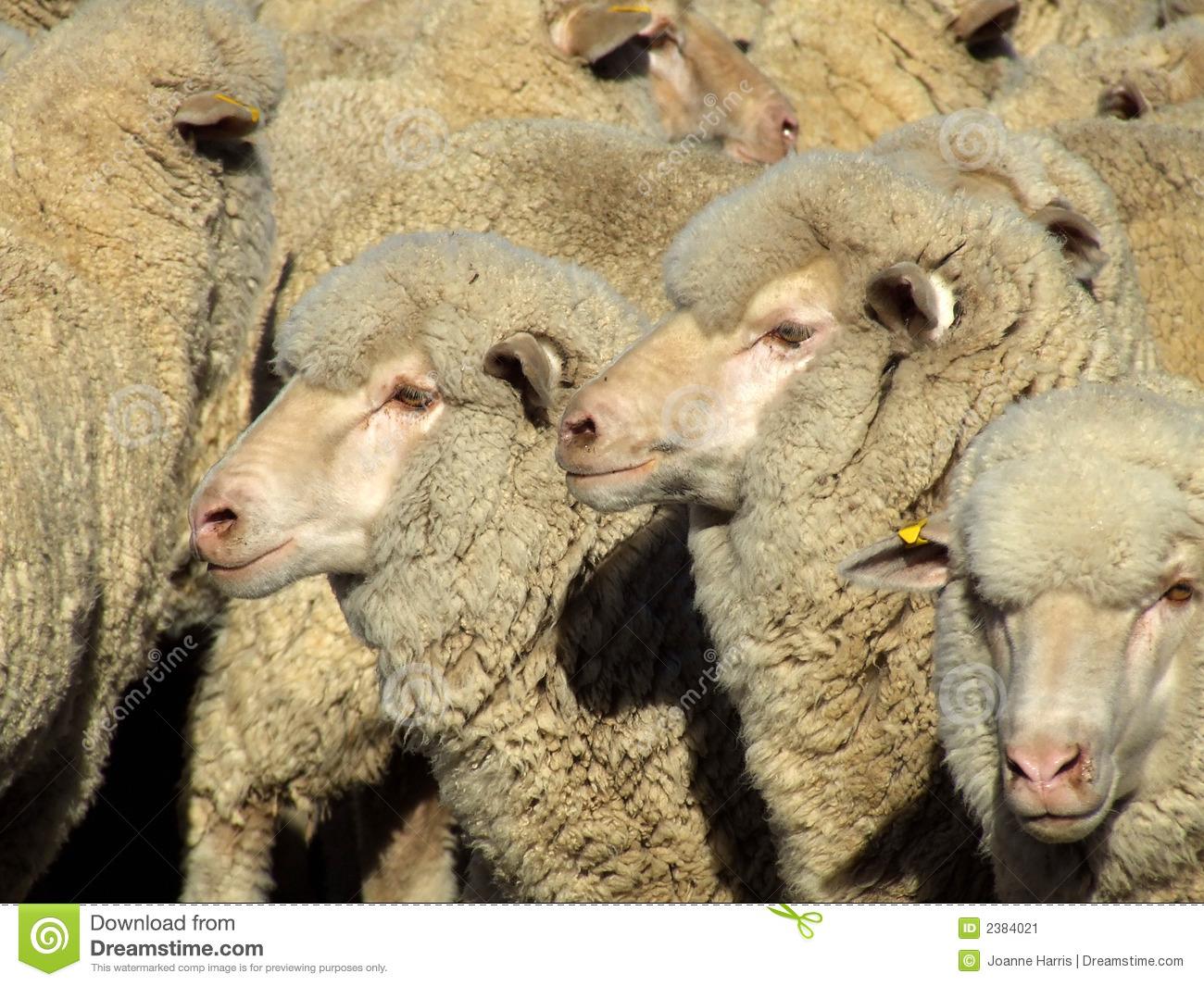Sheep - Mob