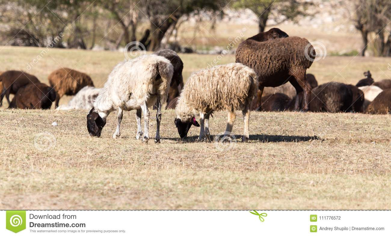 Sheep in nature in autumn