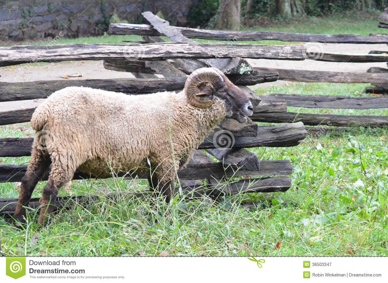Sheep near fence 3