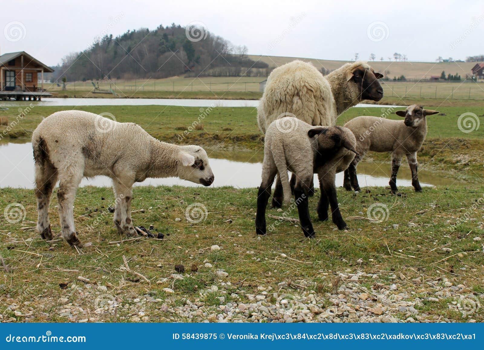 Sheep near the pond
