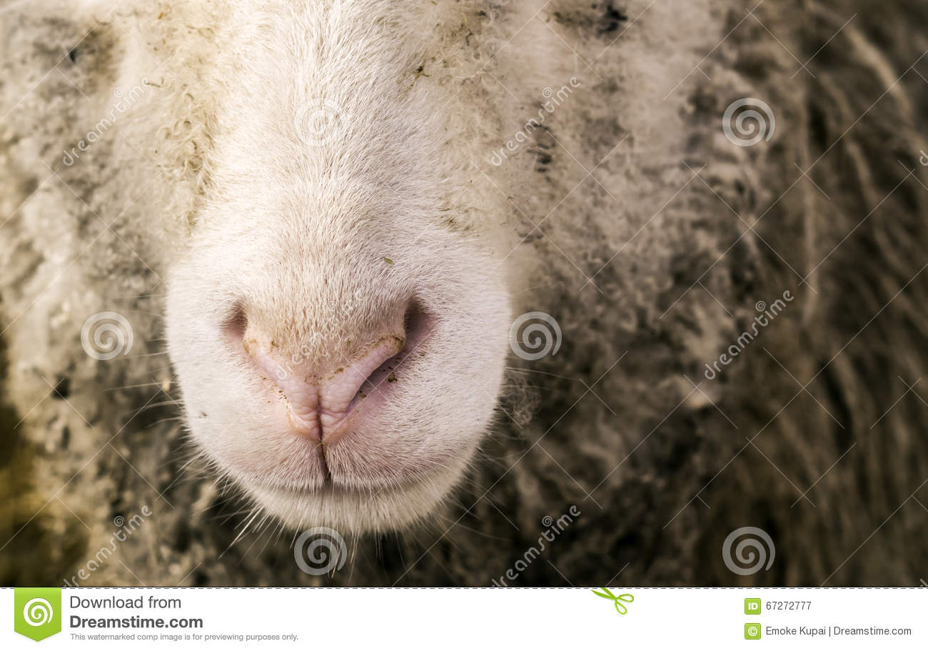 Sheep nose stock image image of nose cotton cute funny 67272777 sheep nose sciox Images