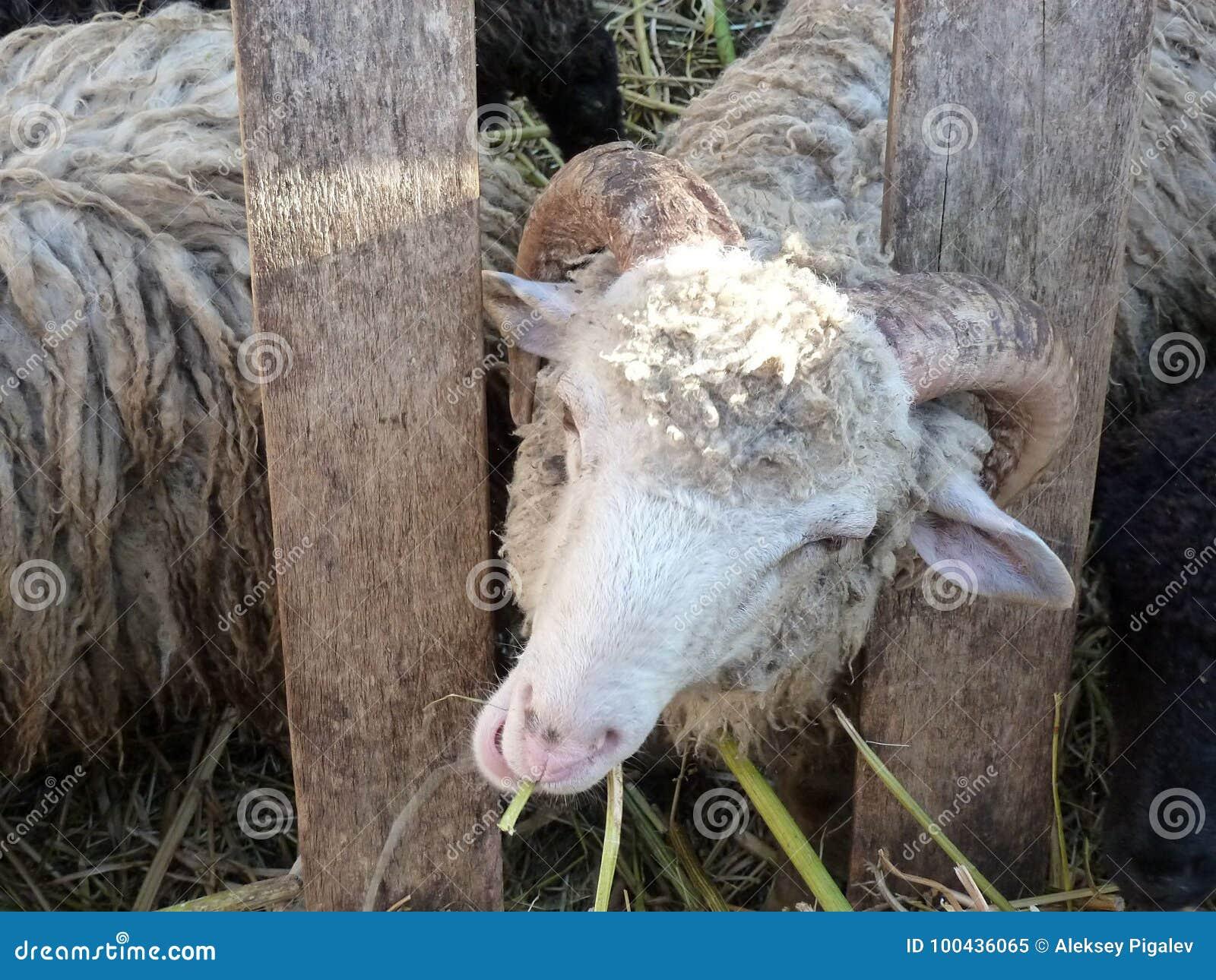 Sheep, melancholic chewing grass