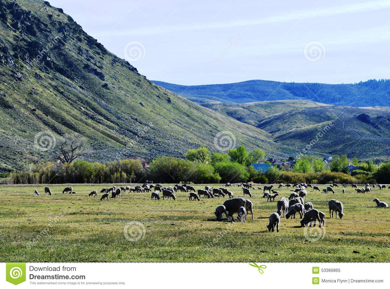 Sheep in Pasture in Carson City, Nevada