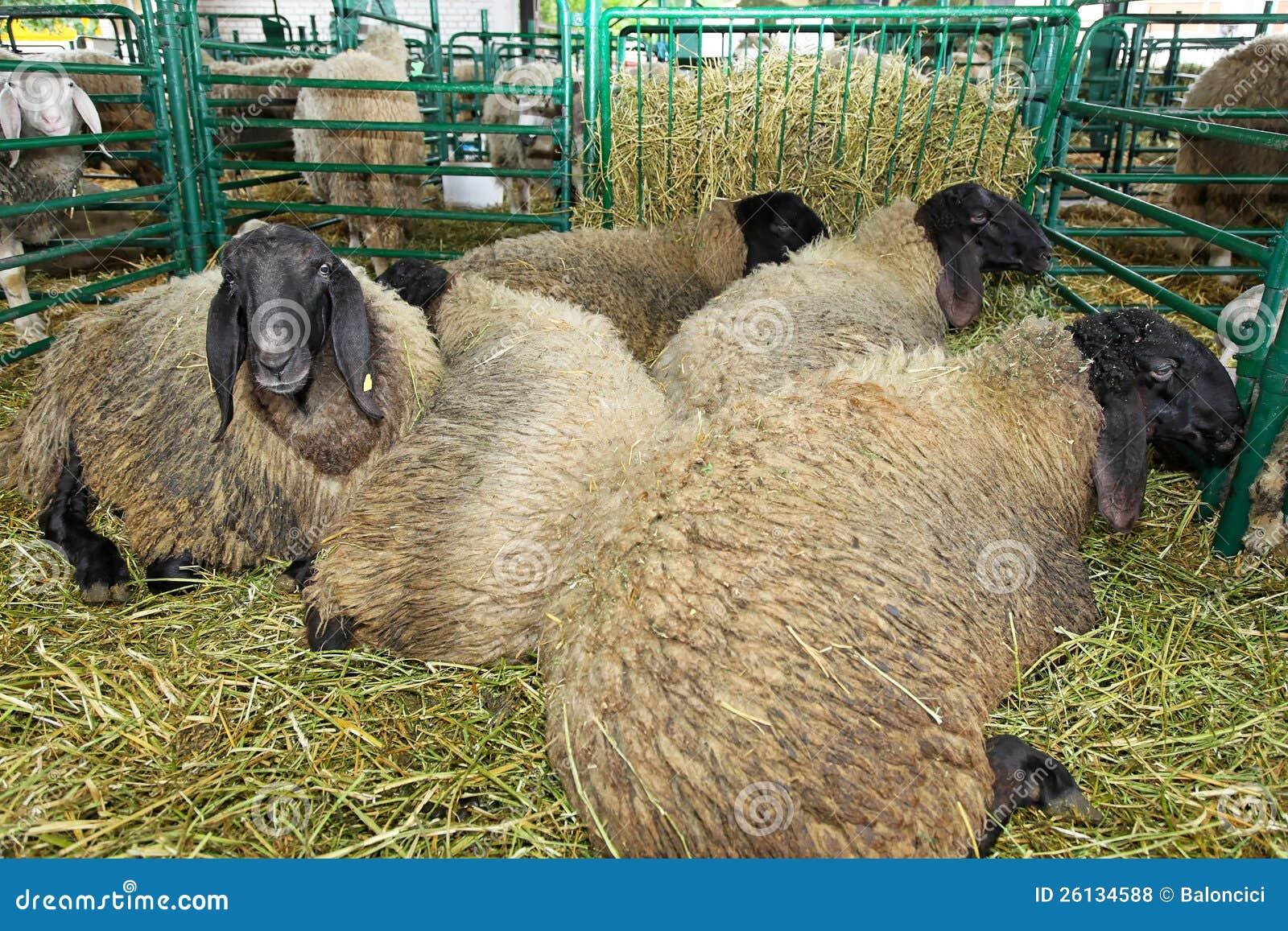 Sheep Pen Royalty Free Stock Photos - Image: 26134588
